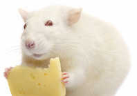 fat rat eating a small piece of cheese